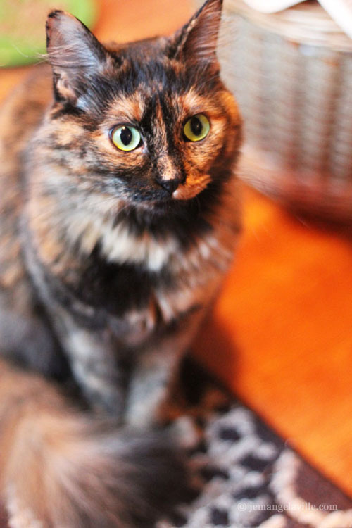 Gamera the Tortie Cat